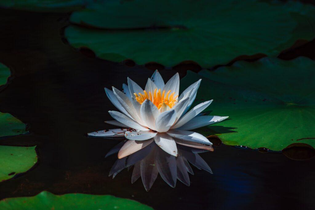 meditazione semplice di Osho: la fragranza di un fiore
